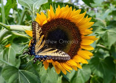 Swallowtail butterfly on sunflower