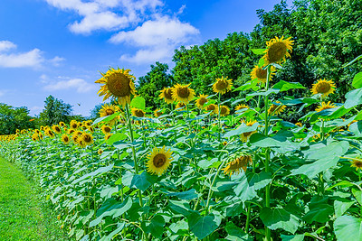 Sunflower field Nebraska city. Blue skyline