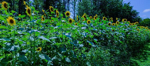 Sunflower field Nebraska city