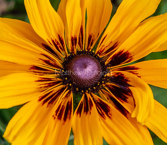 Close up florets ring of fire sunflower