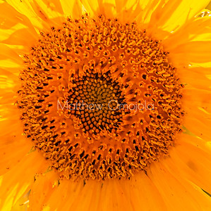 Manipulated sunflower color- close up disc florets