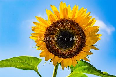 Golden yellow sunflower against blue skyline