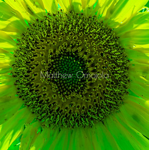 Manipulated color sunflower disc floret close up