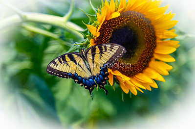 Sunflower with Eastern Tiger Swallowtail butterfly