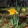 Kodak Gold 400 - Flowers - Nikon F