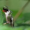 Hummingbird, Ruby-throated 2017-07-15 Chantilly 204-1