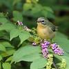 Warbler, Black-throated Blue 2017-10-01 Chantilly 099-1