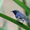 Warbler, Black-throated Blue 2017-09-17 027-1