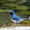 Warbler, Black-throated Blue 2017-09-17 118-1