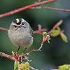 Kinglet, Golden-crowned 2017-03-05 Chantilly 072-2