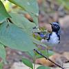 Warbler, Black-throated Blue 2017-10-01 Chantilly 181-1