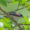 Warbler, Chestnut-sided 2017-05-14 Chantilly 004-1