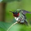 Hummingbird, Ruby-throated 2017-07-15 Chantilly 320-1
