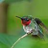Hummingbird, Ruby-throated 2017-07-15 Chantilly 323-1