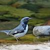 Warbler, Black-throated Blue 2017-09-17 108-1