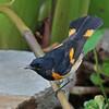 Redstart, American 2014-09-07 Chantilly Fall Migration 2014 078-1