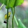 Warbler, Magnolia 2017-09-17 Chantilly 005-1 (3)