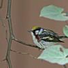 Warbler, Chestnut-sided 2017-05-02 Chantilly Spring 17 276-1