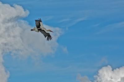 White Storks on the Marsh