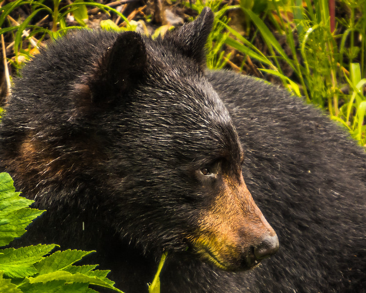 Black bear eating Devils Club and other spring vegetation in northwestern British Columbia