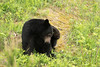 Black bear in the Nass Valley, northwest British Columbia