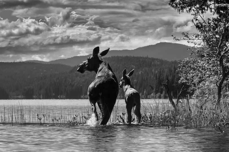 Moose and her calf wading in a northern British Columbia Lake