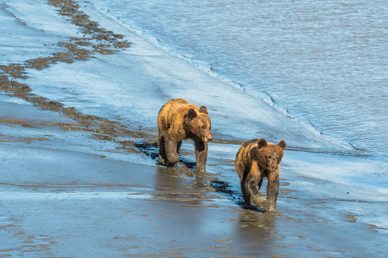 Grizzly Bear siblings, northwestern British Columbia