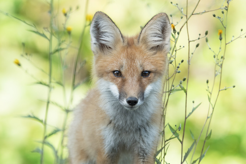 Curious young fox, northwestern British Columbia