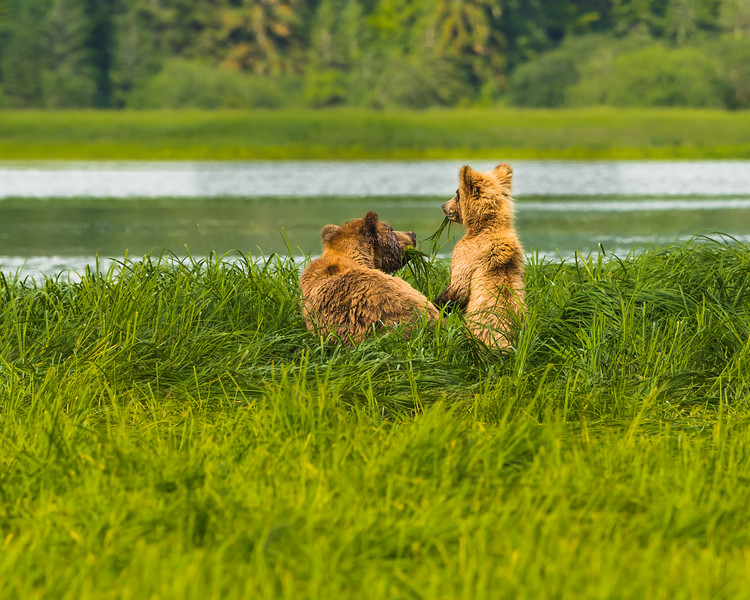 Grizzly Bear mother and cub in the Khutzeymateen Grizzly Bear Sanctuary