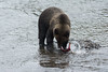 Grizzly Bear fishing for Sockeye Salmon in a small creek in northwestern British Columbia