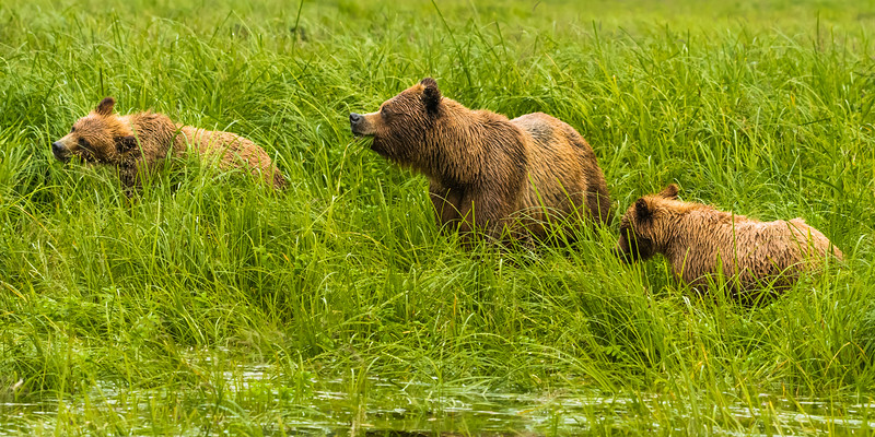 Grizzly Bear mother and cubs in the Khutzeymateen Grizzly Bear Sanctuary
