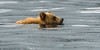 Grizzly Bear cub swimming in the Khutzeymateen Inlet