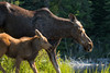 Moose and her calf on the shore of a northern British Columbia Lake