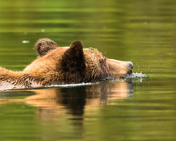 Grizzly Bear swimming in the Khutzeymateen Inlet, northwestern BC