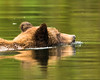 Grizzly Bear swimming in the Khutzeymateen Inlet