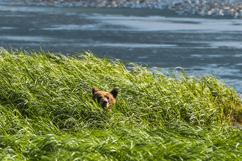 Grizzly Bear cub in the intertidal sedges, northwestern British Columbia