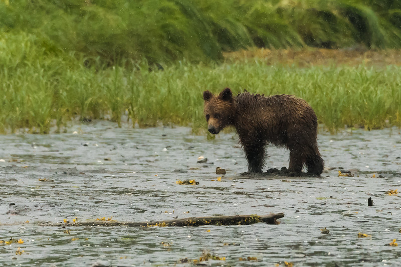 Lone Grizzly Bear Cub digging for clams in the Khutzeymateen Grizzly Bear Sanctuary