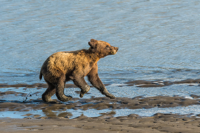 Grizzly Bear cub, northwestern British Columbia