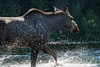 Moose  wading a northern British Columbia Lake