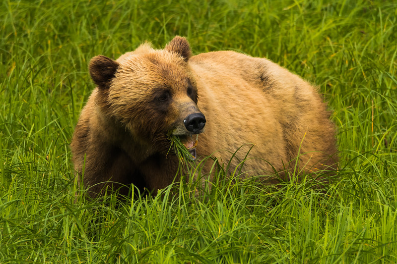 Grizzly Bear feeding on Lyngby Sedges in the Khutzeymateen Grizzly Bear Sanctuary