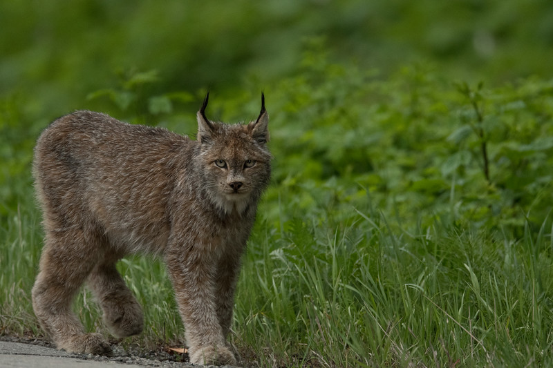 Canadian Lynx, northwest British Columbia