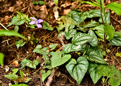 Blue Violet on the Appalachian Trail between Springer Mountain and Three Forks (Georgia) 05/01/11