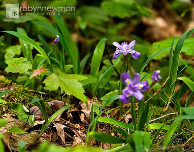 Dwarf Iris (Iris cristata) on the Appalachian Trail, between Springer Mountain and Three Forks (Georgia) 05/01/11