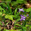 Dwarf Iris (Iris cristata) on the Appalachian Trail, between Springer Mountain and Three Forks (Georgia) 05/01/11