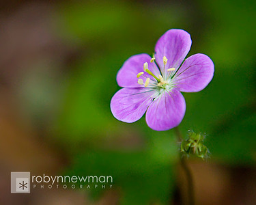 Wild Geranium (Geranium maculatum) on Appalachian Trail between Springer Mountain and Three Forks (Georgia) 05/01/11