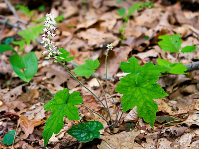 Foamflower (Tiarella cordifolia) on the Appalachian Trail between Springer Mountain and Three Forks (Georgia) 05/01/11