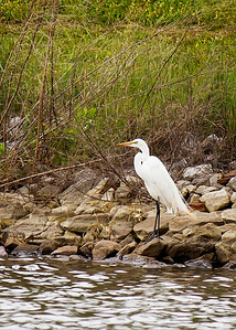 Egret at E.L. Huie Land Application Facility