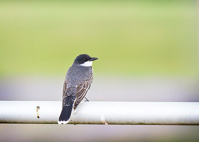 Eastern Kingbird at E.L. Huie Land Application Facility