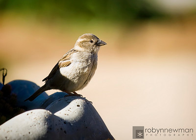Sparrow at Heritage Park,  McDonough, GA (Henry County, Georgia)
