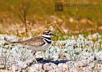 Killdeer at Heritage Park,  McDonough, GA (Henry County, Georgia)